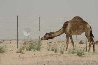 Dubai - Camel, the desert and modern technology