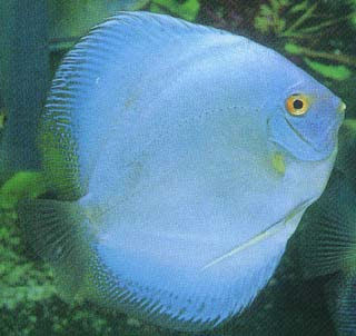 All about discus fish for All about fish