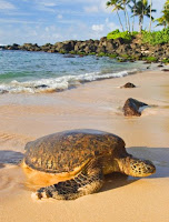 Turtle on Hawaiian beach