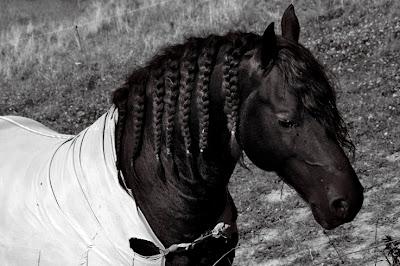 cheval noir avec pions de crinière tressée, photo © dominique houcmant