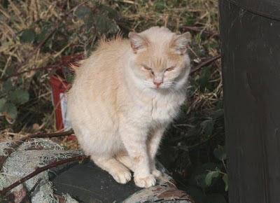 beige buff ginger bob tailed cat