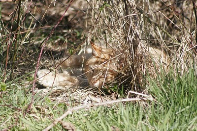 Orange tabby feral cat takes a nap in the weeds and brush