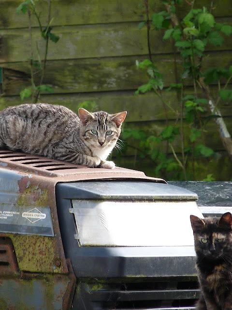 tractor cats, feral farm cats
