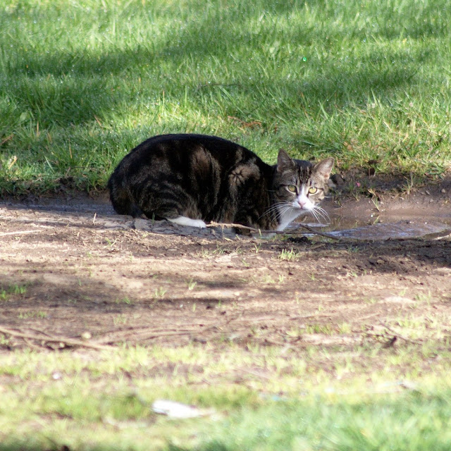 The Lonely Road cat, a tabby feral cat we seldom see