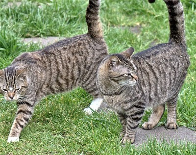 inseparable feral cats, mother and son tabbies