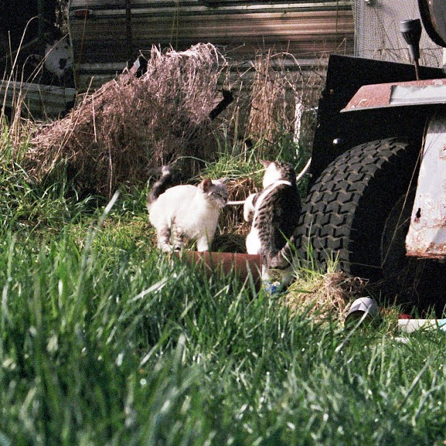 Rescued feral kittens Fran and Mort Playing at the farm