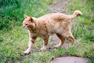 Orange half-tail feral tom cat