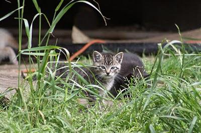 little tabby striped kitten investigates the world