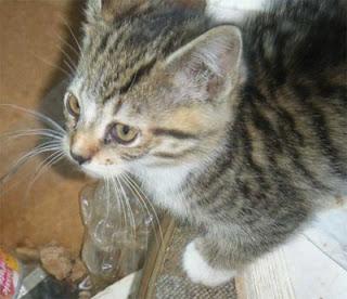 feral kitten tabby captured