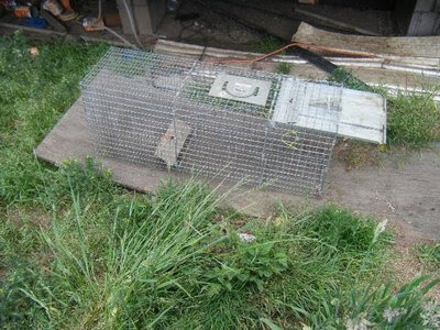 feral cat live trap set near feeding area