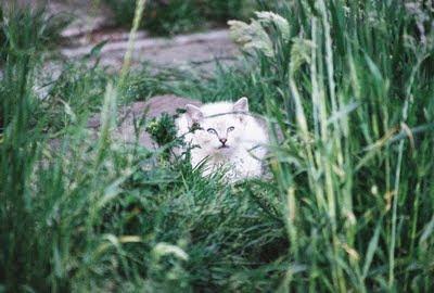 white blue eyed feral kitten