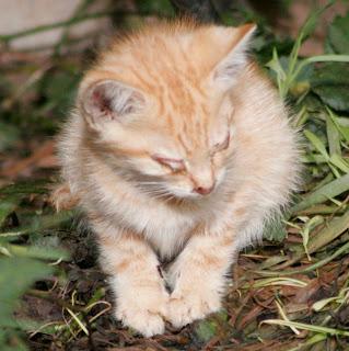 feline herpes kitten