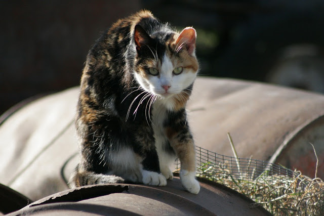 Patchy calico cat