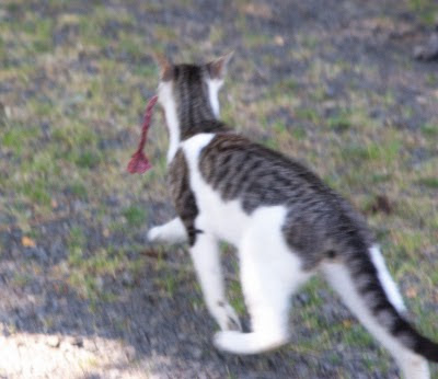 Mort the cat runs off with a homemade Snakey Mouse cat toy