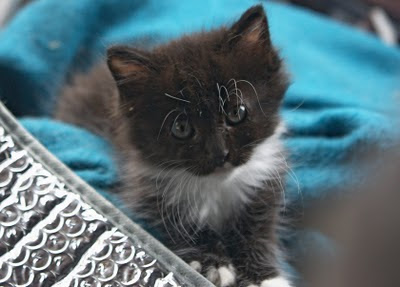 Little Wishe the fuzzy feral kitten, saved from the feral life - we hope