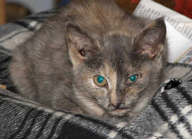 Recovering tortie kitten learns to like people for the first time in her short life