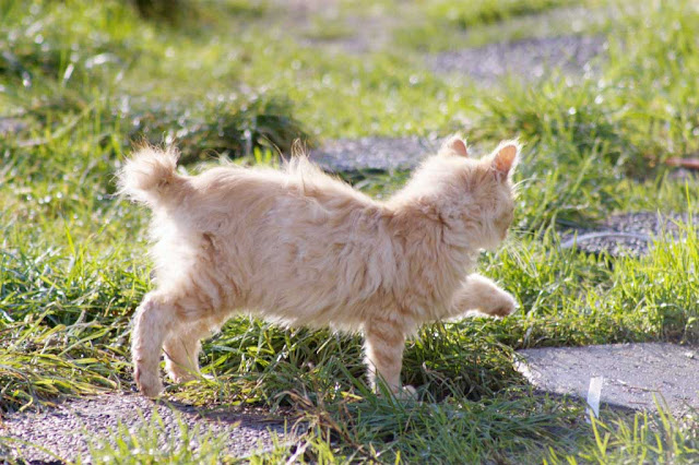 flee kitten, orange fluffy bobtail feral kitten runs away