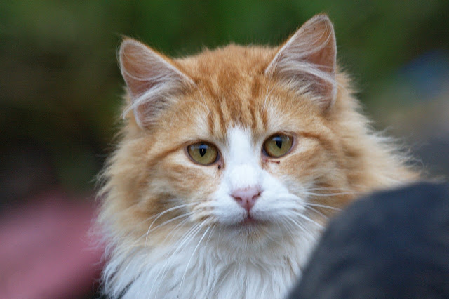 fluffy orange tomcat, a feral cat closeup portrait