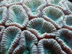 Favia Moon Coral
