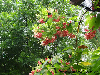 The HomeMaker: Rangoon Creeper (Quisqualis indica)- Simply ...