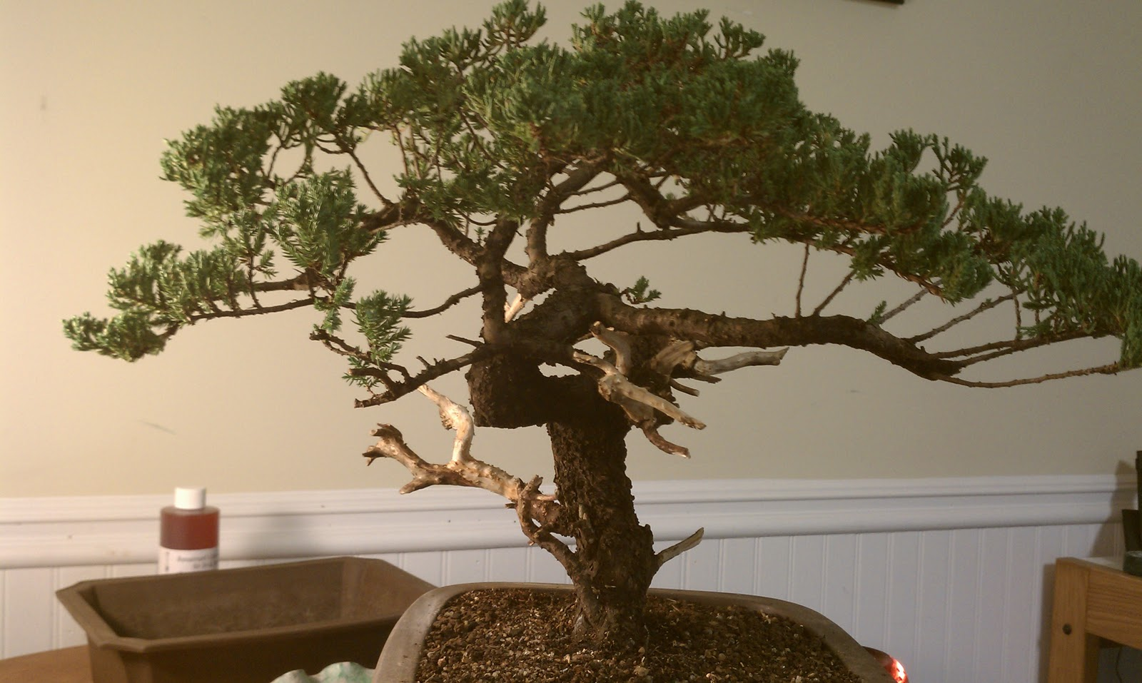 Bodhisattva Bonsai Warren Hill Workshop And My Project Tree