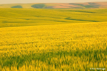 The Golden Fields of Barley