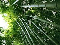 Como la semilla de bambú, retoñan nuestros deseos. Horoscopia, de susana colucci. Algo mas que Astrología