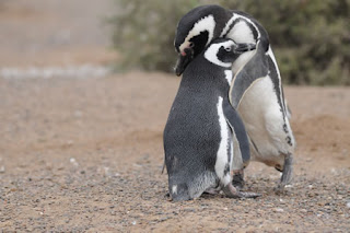Punta Tombo - Penguins and the courting