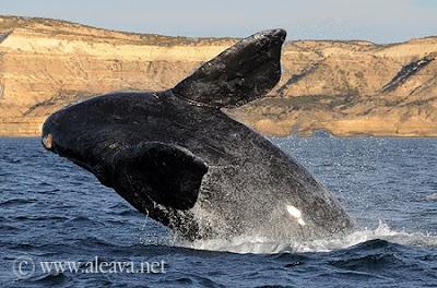 Walbeobachtungen Patagonien Argentinen