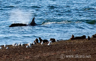 Orcas Season in Punta Norte Valdes Peninsula