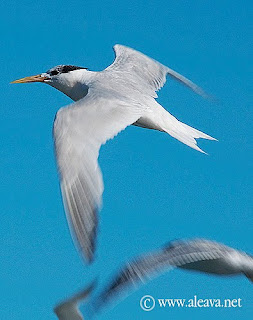 South american tern in Peninsula Valdes