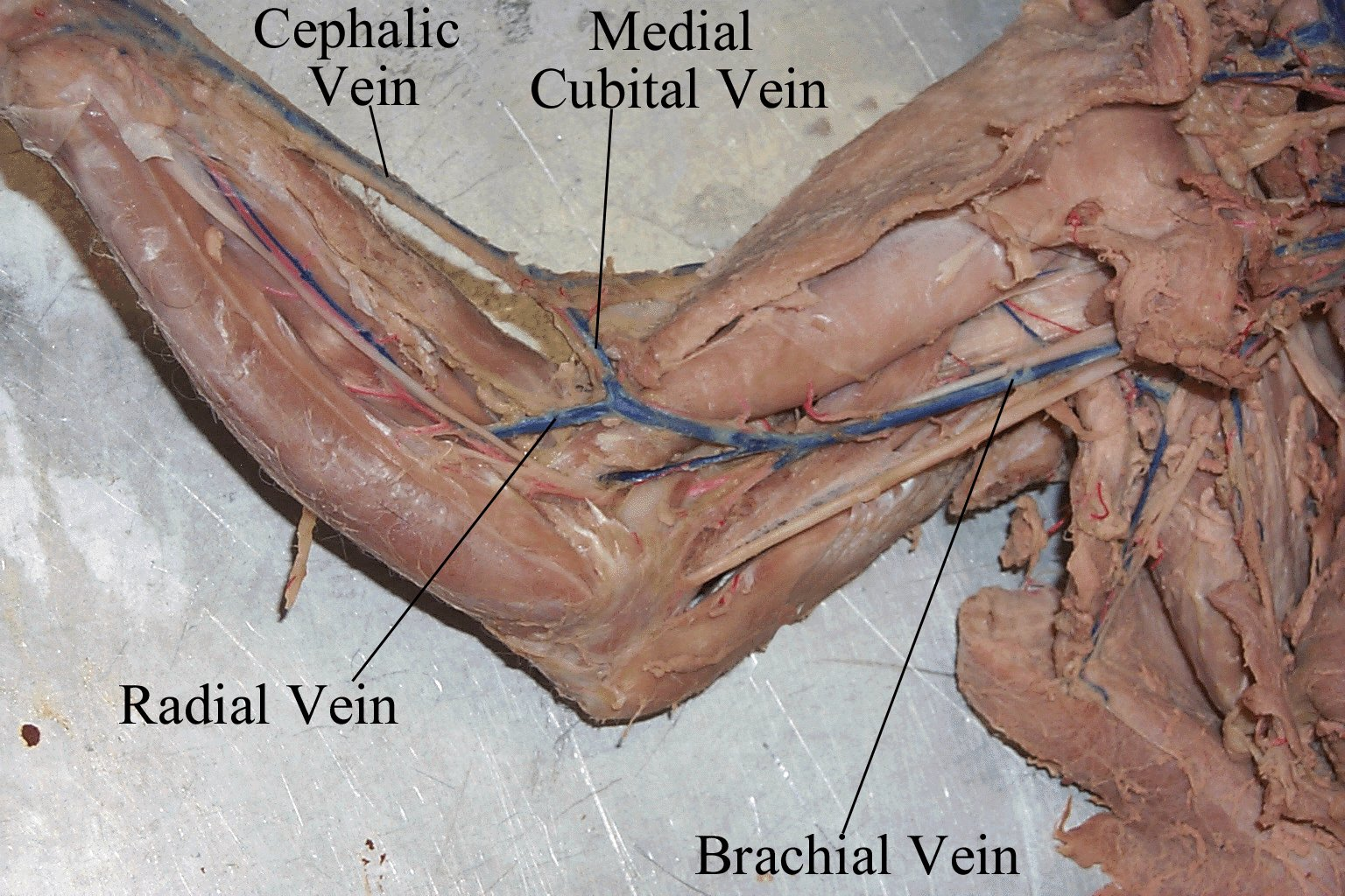 Human anatomy veins