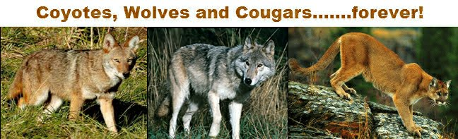 Wolves, Wolf Facts, Cougars, Cougar Facts, Coyotes, Coyote Facts - Wolves, Cougars, Coyotes Forever