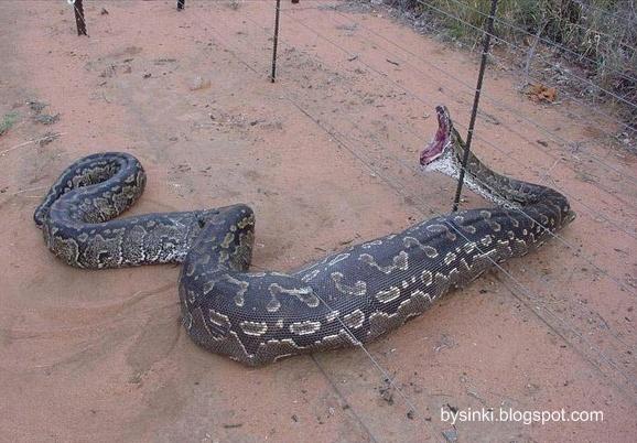 Змея проглотила человека целиком Ужасающие ФОТО