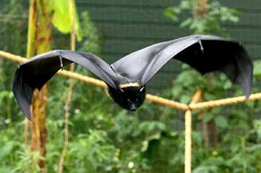 Morcego negro em pleno vôo sem pressa para os dois faróis dos seus olhos