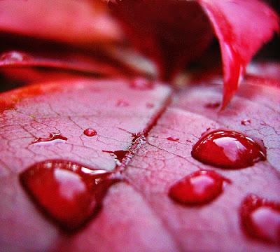 Fotografia em macro mostra gotas de chuva que permanecem na folha vermelha, após a tempestade, uma imagem muito linda