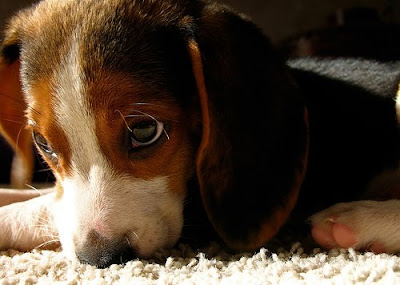 beagle puppy dog picture cute