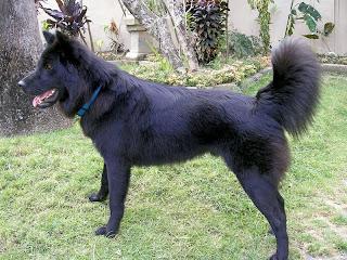 black kintamani dogs