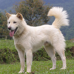 white kintamani dogs