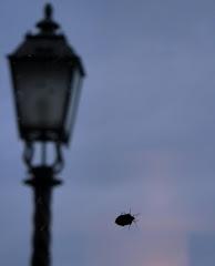 Escarabajos sibaritas