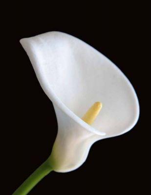 Significado de so ar con flores blancas horoscopos - Significado rosas blancas ...