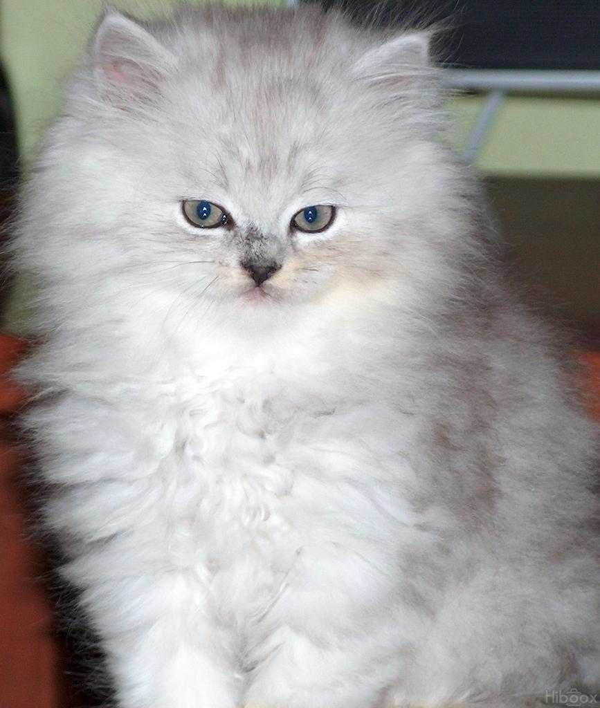 Veterinaria Protección Fauna: Gatos Angora