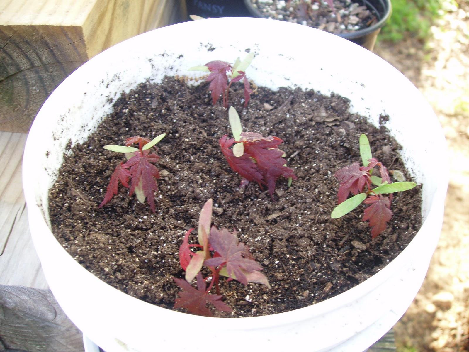 Как вырастить (прорастить) клен из семян: полезные советы