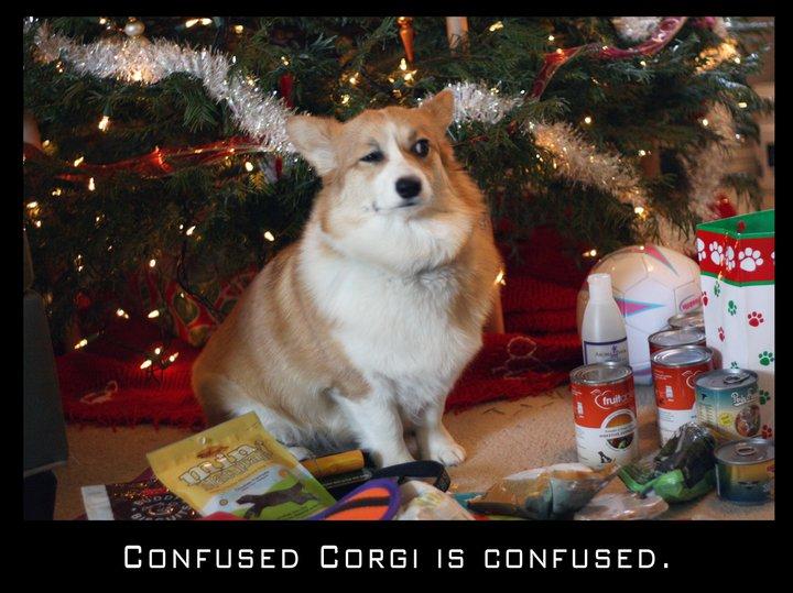 Confused Corgi