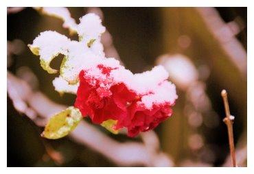 Rose de neige