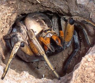 Wolf spider attack position