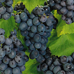 concord grapes