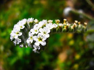La flor de la avispilla.