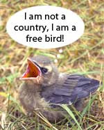 Cedar wax wing fledgling wiht thought balloon that says I am not a country, I am a free bird