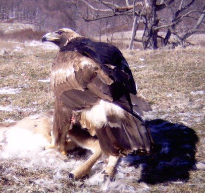 2-3 year old Golden Eagle on deer carcass